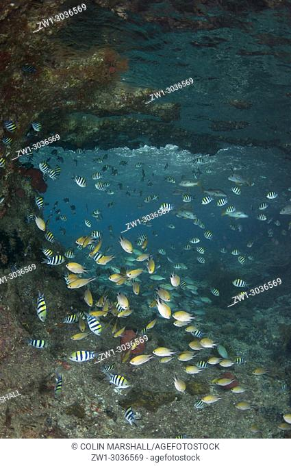 Damselfish (Chromis sp. ) and Indo-Pacific Sergeant Damselfish (Abudefduf vaigiensis) by underwater window, Batu Rufos dive site, Penemu Island, Raja Ampat