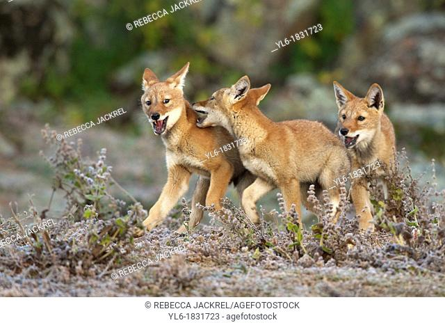 Ethiopian wolf pups playing