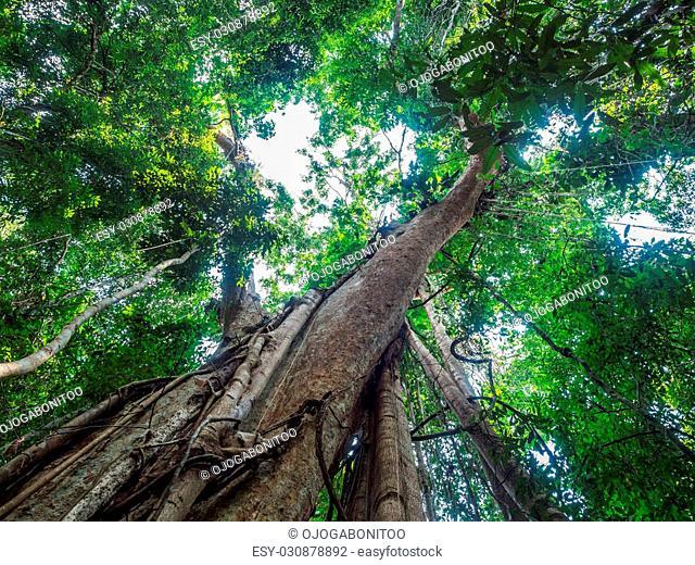 Old giant rain tree in Koh Kood, Trat, Thailand