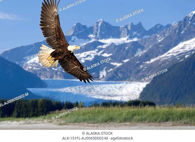 Bald Eagle in flight with Mendenhall Glacier in background Tongass National Forest Inside Passage southeast Alaska summer Composite