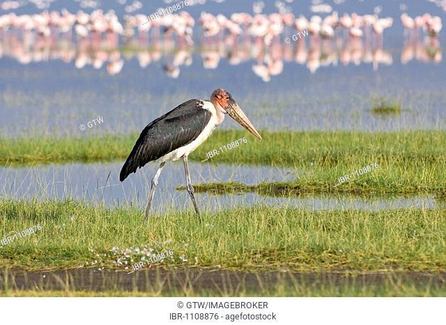 Marabou Stork (Leptoptilos crumeniferus), Lake Nakuru National Park, Kenya, East Africa
