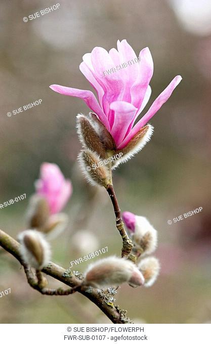 Magnolia x loebneri, Magnolia