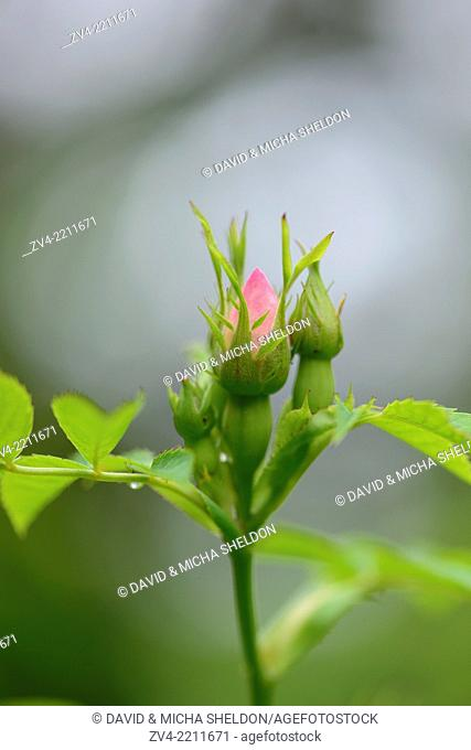 Close-up of a dog rose (Rosa canina) blossom bud in a hedge in spring
