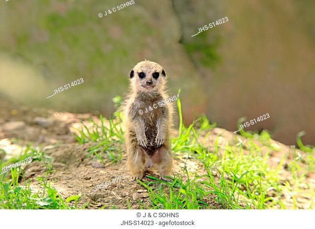 Suricate, (Suricata suricatta), youngstanding upright, Africa