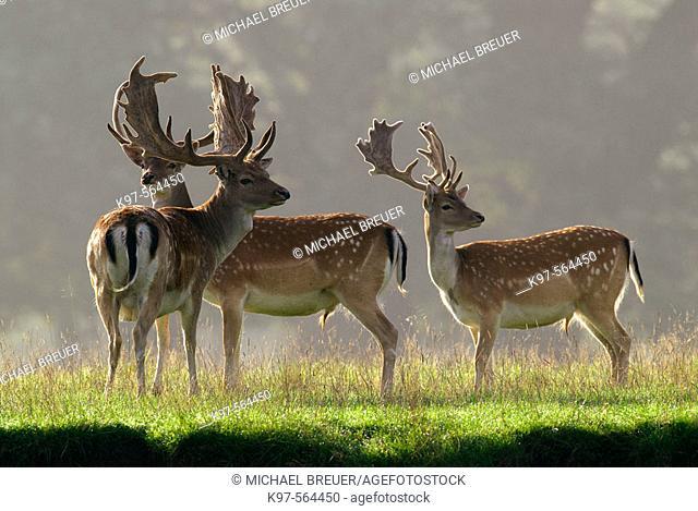 Fallow Deers (Cervus dama). Denmark
