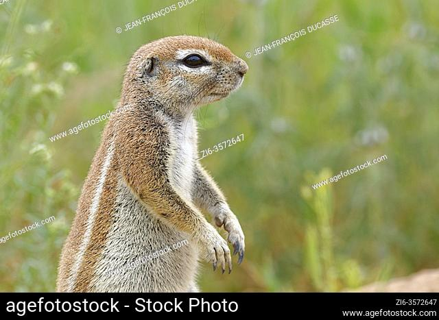 Cape ground squirrel (Xerus inauris), adult, looking out from the burrow entrance, alert, Kgalagadi Transfrontier Park, Northern Cape, South Africa, Africa