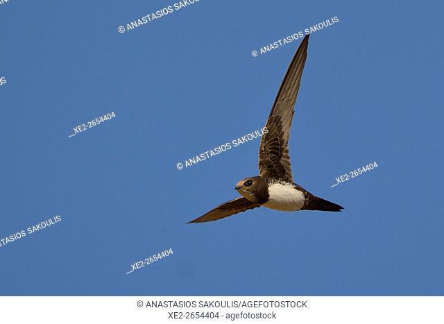 Alpine swift (Tachymarptis melba), Crete