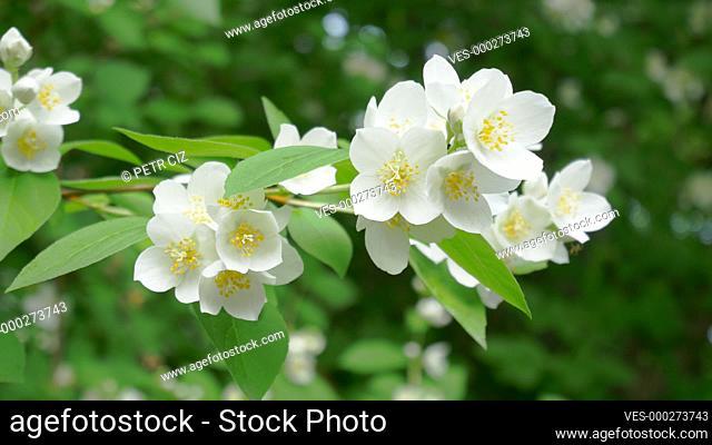 White flower blooming Philadelphus coronarius close-up video