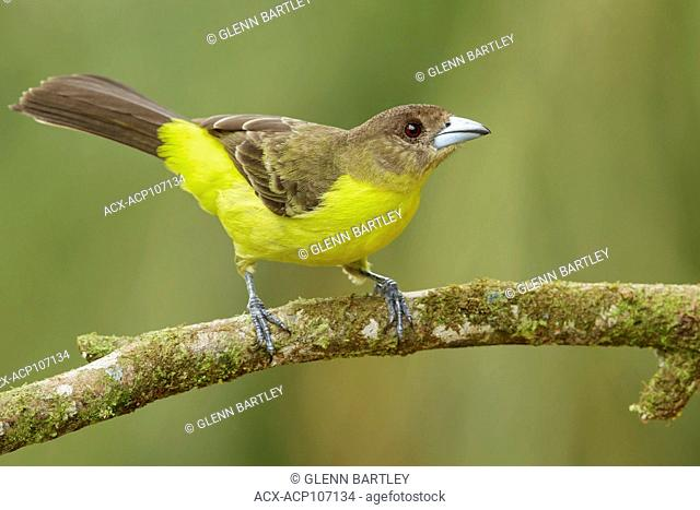 Flame-rumped Tanager (Ramphocelus flammigerus) perched on a branch in the mountains of Colombia, South America