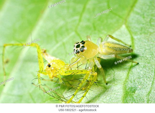 Jumping spider preying on spider  Salticidae, Araneida, Arachnida  2012