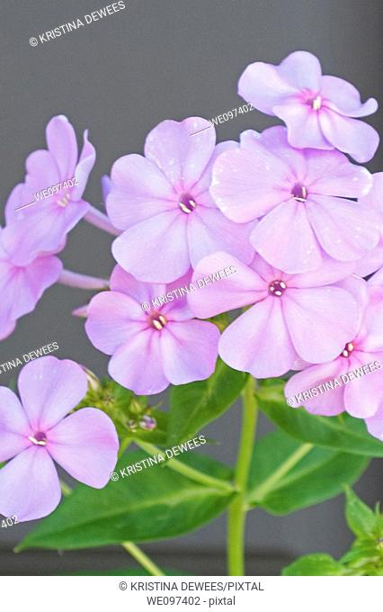 Some pink perennial wild Phlox