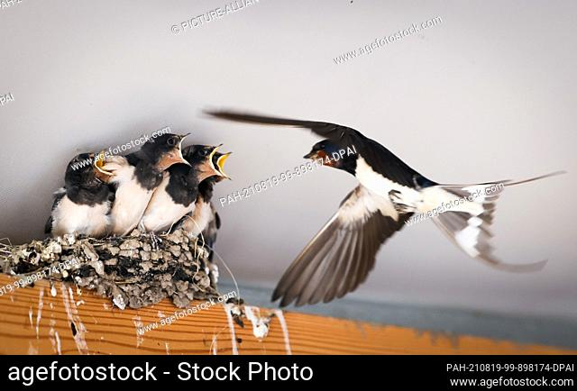 19 August 2021, Schleswig-Holstein, Geesthacht: A parent of a family of barn swallows (Hirundo rustica) feeds the young in the nest in a garden pub near...