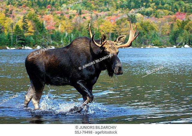Alces alces / Elk , moose - at the side , running in the water