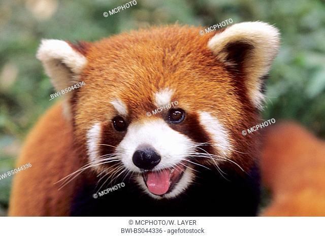lesser panda, red panda (Ailurus fulgens), portrait, national animal of the Indian province Sikkim, China, Sichuan, Chengdu