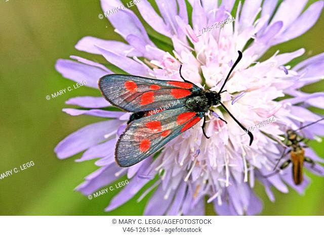Five-spot Burnet, Zygaena trifoli on lavender scabious  Zygaenids produce HCN, hydrogen cyanide as chemical defense  There is an Oedemerid