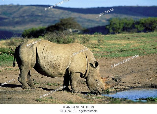 White rhinoceros rhino, Ceratotherium simum, at water, Hluhluwe, South Africa, Africa