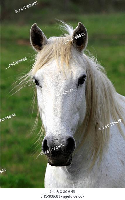 Camargue Horse,Equus caballus,Saintes Marie de la Mer,France,Europe,Camargue,Bouches du Rhone,portrait of a mare