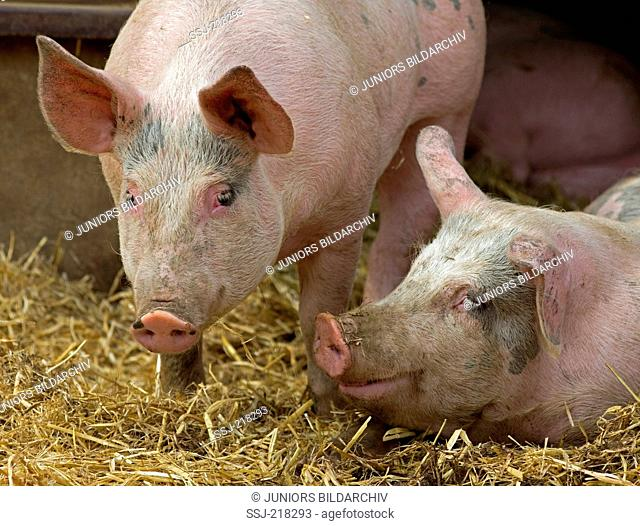 Domestic Pig, Gloucester Old Spot Pig. Two pigs on straw. Great Britain