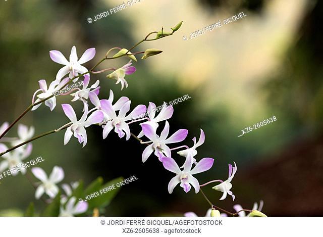 Orchids, Kanchanaburi, Thailand, Asia