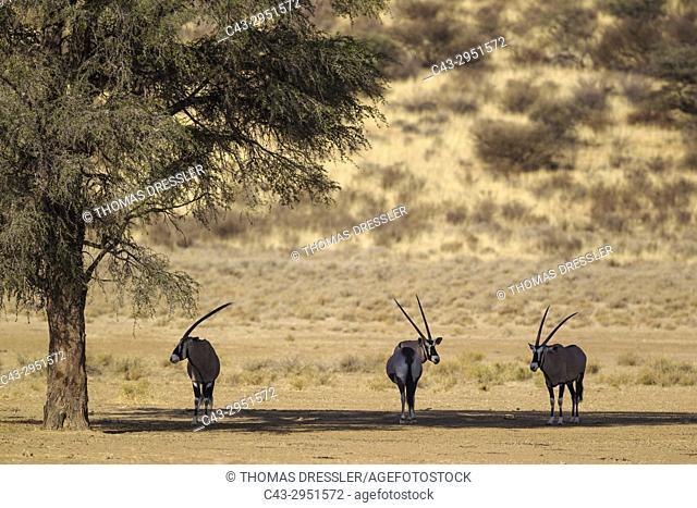 Gemsbok (Oryx gazella). Resting in the shade of a camelthorn tree (Acacia erioloba). Kalahari Desert, Kgalagadi Transfrontier Park, South Africa