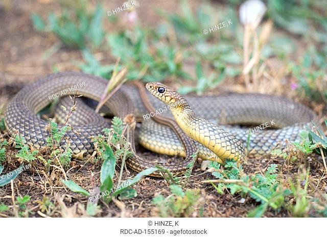 Large Whip Snake Bulgaria Coluber jugularis