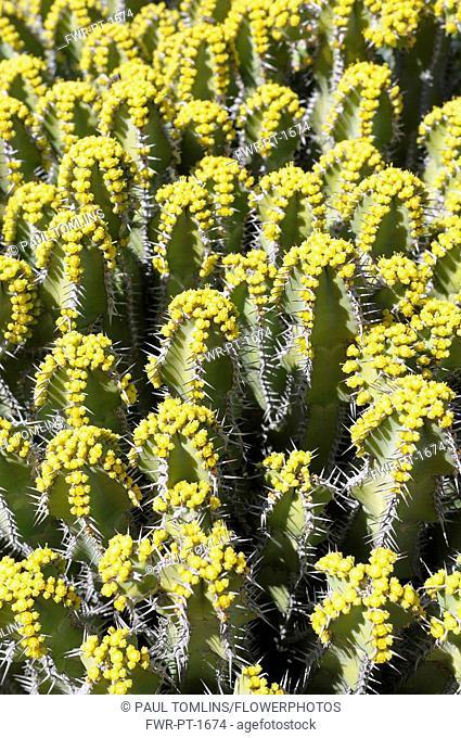 Euphorbia polyacantha, Mass of spiky plants growing outdoor.-
