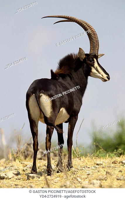 Sable Antelope (Hippotragus niger), Chobe National Park, Botswana