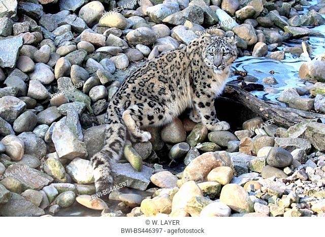 snow leopard (Uncia uncia, Panthera uncia), standing at a frozen creek, Asia