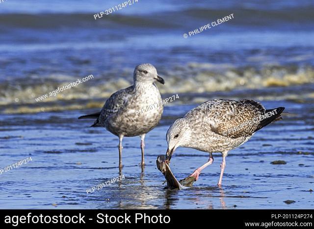 European herring gull (Larus argentatus) juvenile feeding / pecking on dead European plaice (Pleuronectes platessa) washed ashore on beach