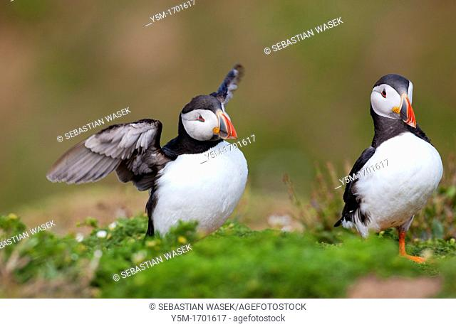 Atlantic puffin, Fratercula arctica, Skomer Island, Pembrokeshire, Wales, UK, Europe