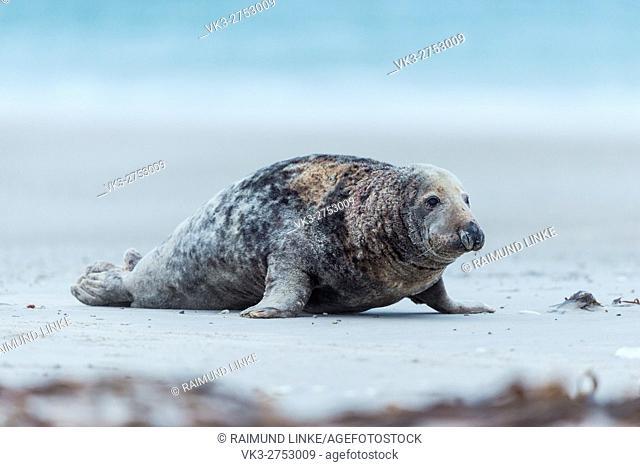 Grey Seal, Halichoerus grypus, Male Crawl on the Beach, Europe