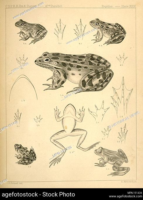 1. Pana halecina, Spotted Frog, b. under surface of head, c. under surface of left fore foot, d. under surface of left hind foot; 2