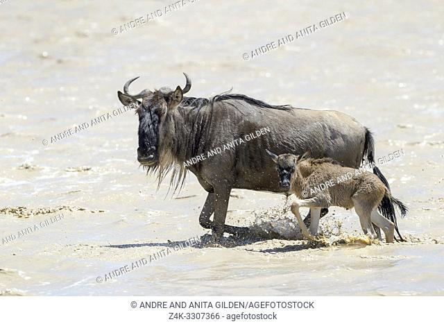 Blue Wildebeest (Connochaetes taurinus) mother with newborn calf walking in a muddy lake at the southern plains, during the migration