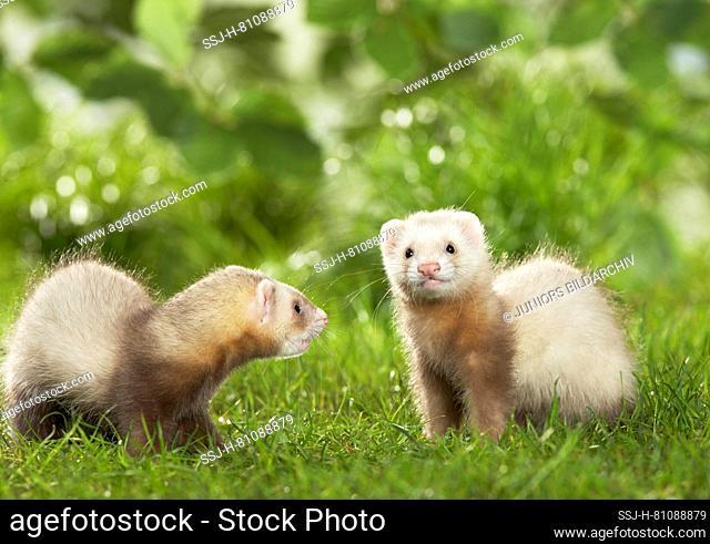 Ferret (Mustela putorius furo). Pair of juveniles playing in grass. Germany