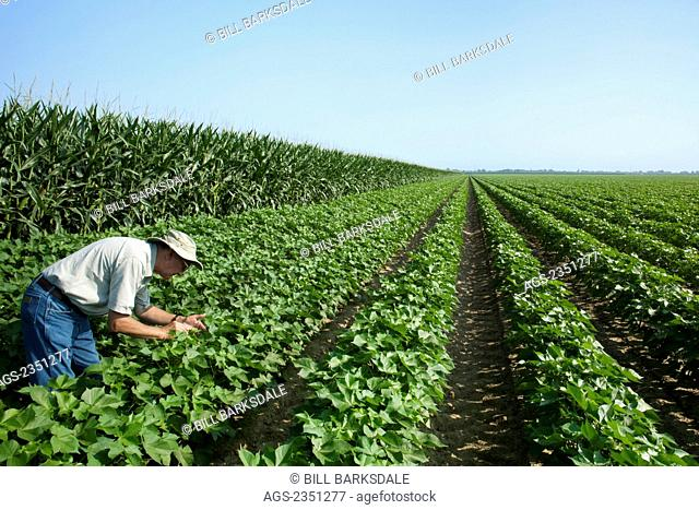Agriculture - A farmer (grower) inspecting his mid growth peak boll set stage cotton crop, with a corn rotation crop in the background / Arkansas, USA