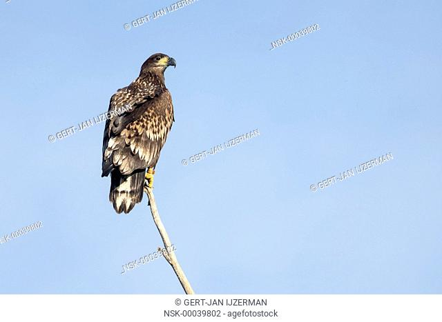 White-tailed Eagle (Haliaeetus albicilla) juvenile, perched on a branch, looking over his shoulder at camera, The Netherlands, Overijssel, IJsselmonding