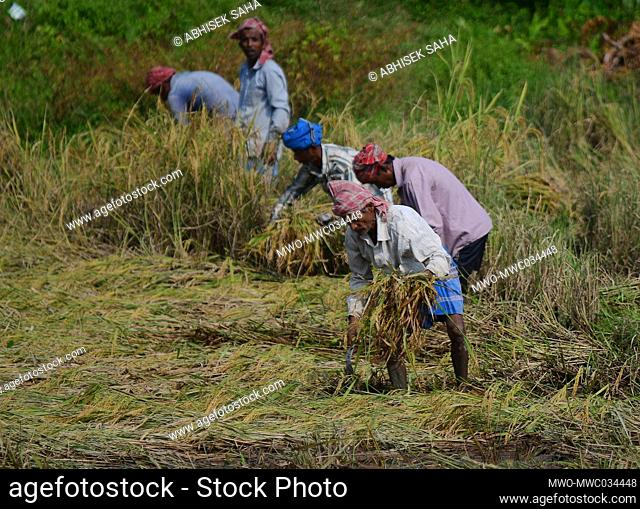 Farmers working hard in the field. Planting, watering, fertilizing and removing weeds that compete with the crops. Agartala, Tripura, India