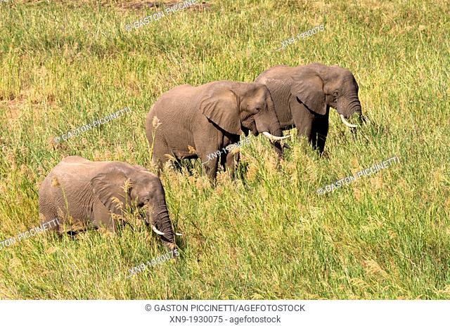 African Elephant (Loxodonta africana), eating reeds. The Common Reeds (Phragmites australis) are found in wetland, banks and shallows