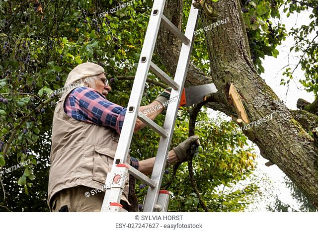 retired leaves a sawed pflaumenbaumast of ripe plums fall to the ground