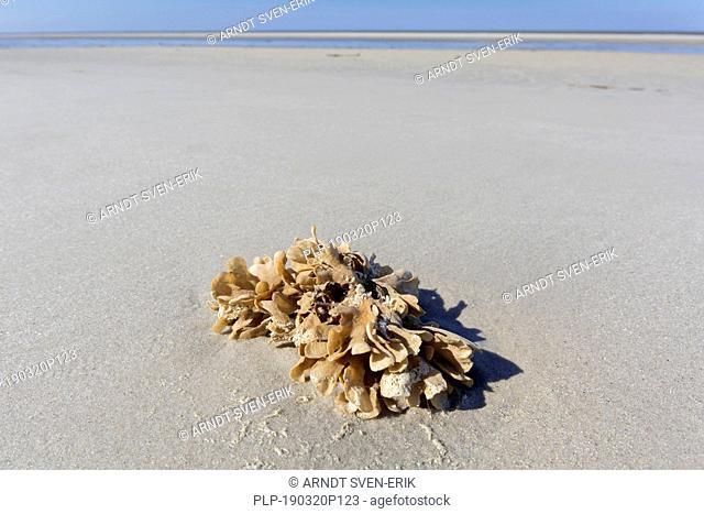 Flustra foliacea / Eschara foliacea, species of bryozoans, colonial animal found in the northern Atlantic Ocean washed ashore on tidal mudflat