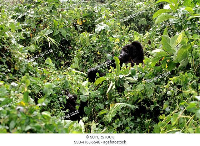 uganda, bwindi impenetrable forest, mountain gorillas, silverback feeding