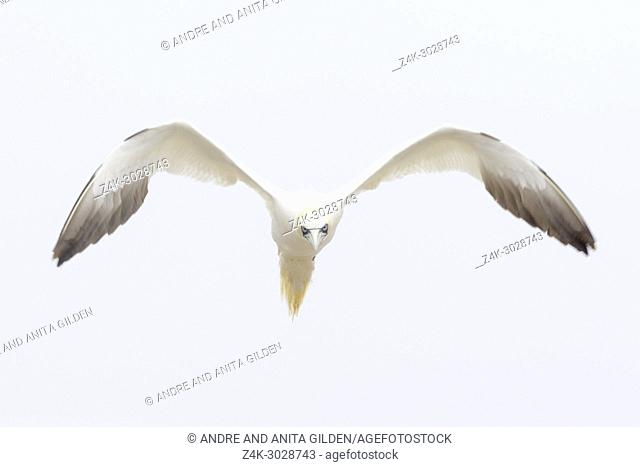 Northern Gannet (Morus bassanus) flying against white sky, Great Saltee, Saltee Islands, Ireland