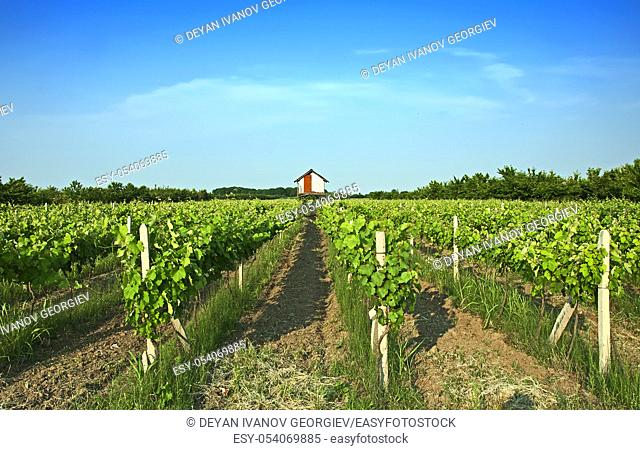 Vineyards rows by a sunny day