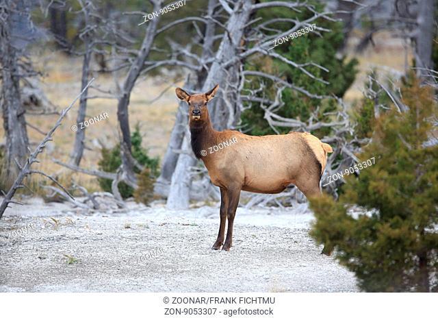 Wapiti, Cervus elaphus, Elk