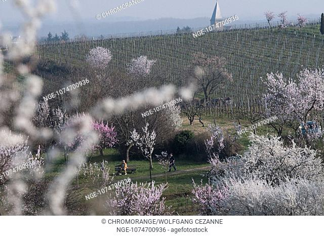 Almond Blossoms in the Southern Wine Road