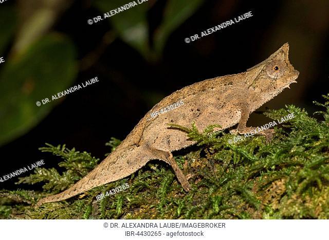 Brown leaf chameleon (Brookesia superciliaris), juvenile on moss, rainforest, Ranomafana National Park, Southern Highlands, Madagascar