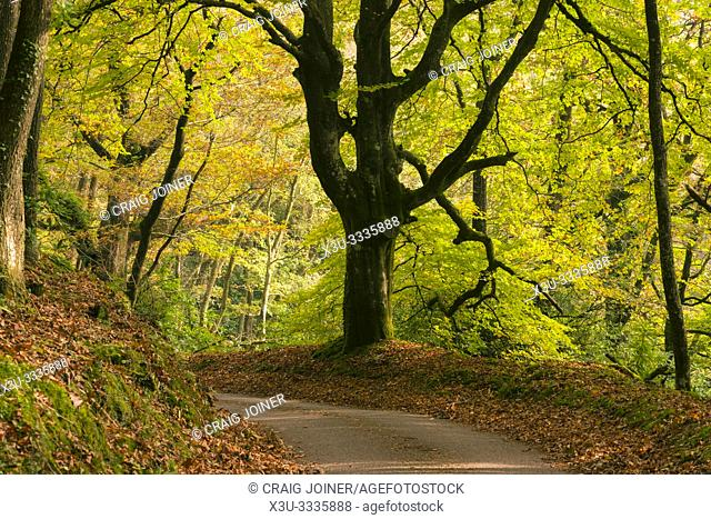 A country lane though a beech woodland in autumn in the Quantock Hills, Somerset, England