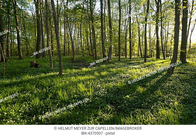 Blooming wood anemone (Anemone nemorosa) in a beech forest (Fagus sylvatica) with grazing light, Mecklenburg-Western Pomerania, Germany