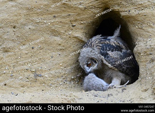 Eurasian Eagle Owl / Europaeischer Uhu ( Bubo bubo ), young chick at its nesting site, feeding on a rodent, wildlife, Europe
