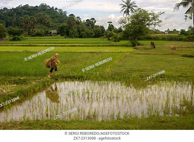 Rice fields near Banteay Srei. Cambodia has many fine products to offer, particularly in the area of agricultural commodities
